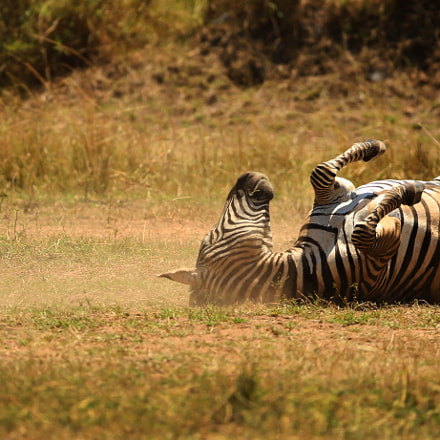 Plains Zebra Dustbath, Canon EOS-1D X, Canon EF 200-400mm f/4L IS USM + 1.4x