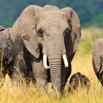 Approaching Elephants, Canon EOS-1D C, Canon EF 800mm f/5.6L IS