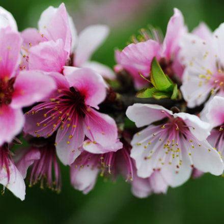 Peach blossoms were blossoming, Nikon D3, AF Micro-Nikkor 60mm f/2.8D