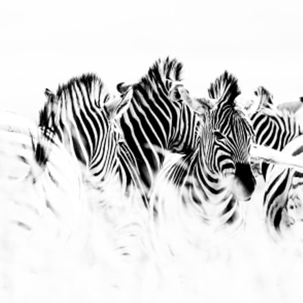 Zebra's Exposed, Canon EOS-1D X, Canon EF 400mm f/2.8L IS II USM