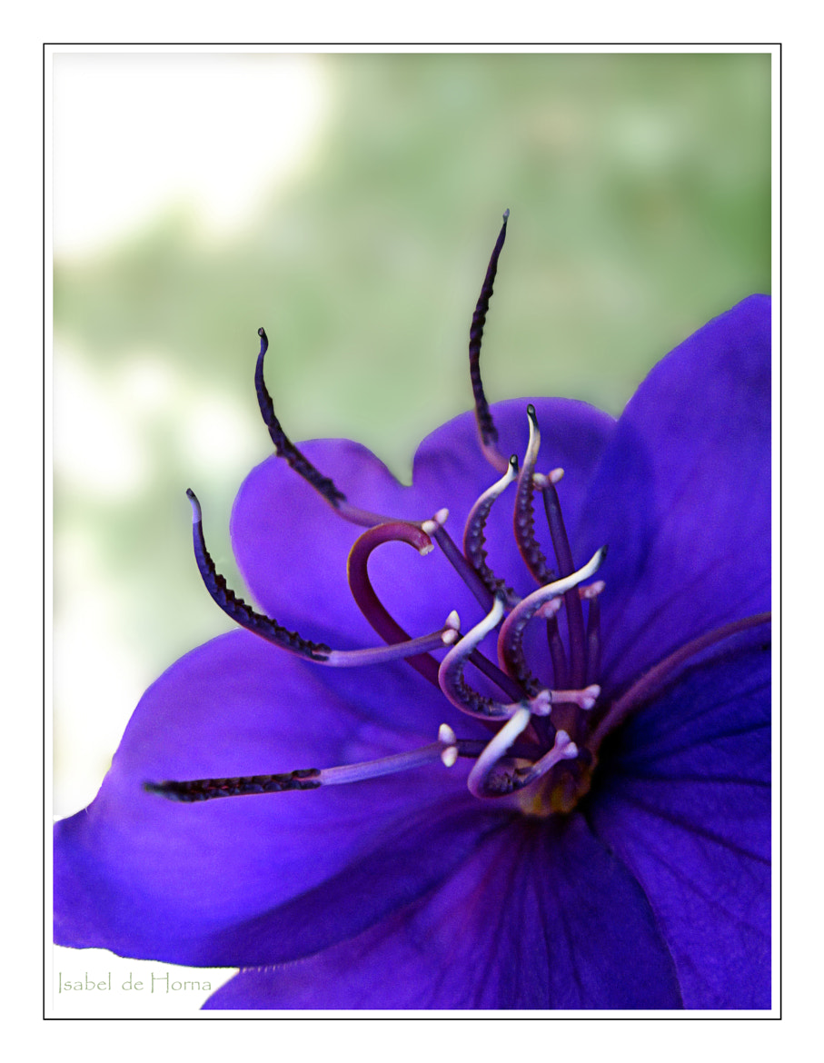 Photograph Purple Princess by Isabel de Horna on 500px