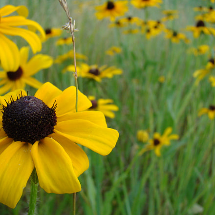 Black Eyed Susan, Sony DSC-H9