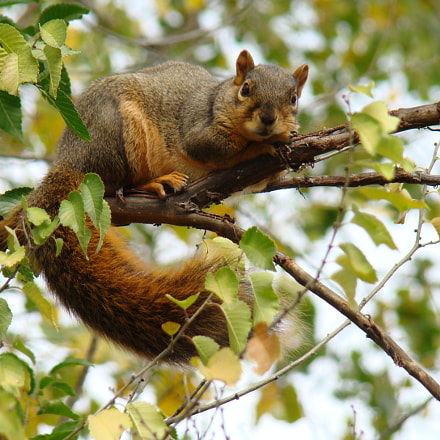 Fox Squirrel, Sony DSC-H9