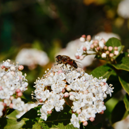 Bee, Canon EOS 100D, Sigma 18-200mm f/3.5-6.3 II DC OS HSM