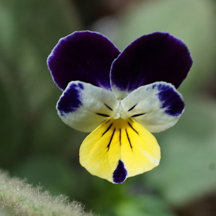 Pansy, Sony ILCE-6000, Sony E 30mm F3.5