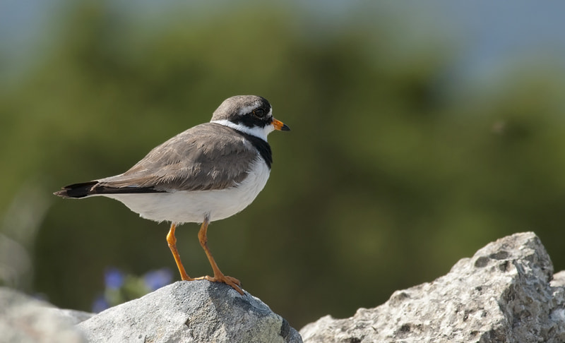 Photograph Ringed Plover by Janis von Heyking on 500px