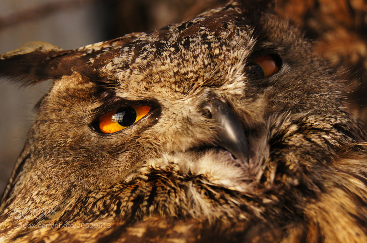 Photograph sleepy owl by mohammad zia on 500px