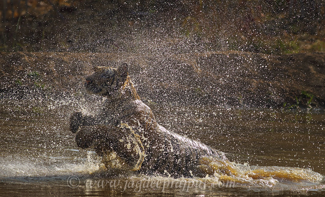 Photograph Water works by Royal Bengal Tiger. by Jagdeep Rajput on 500px