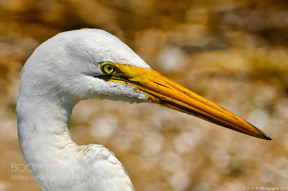 Photograph Great Egret by Harold Begun on 500px