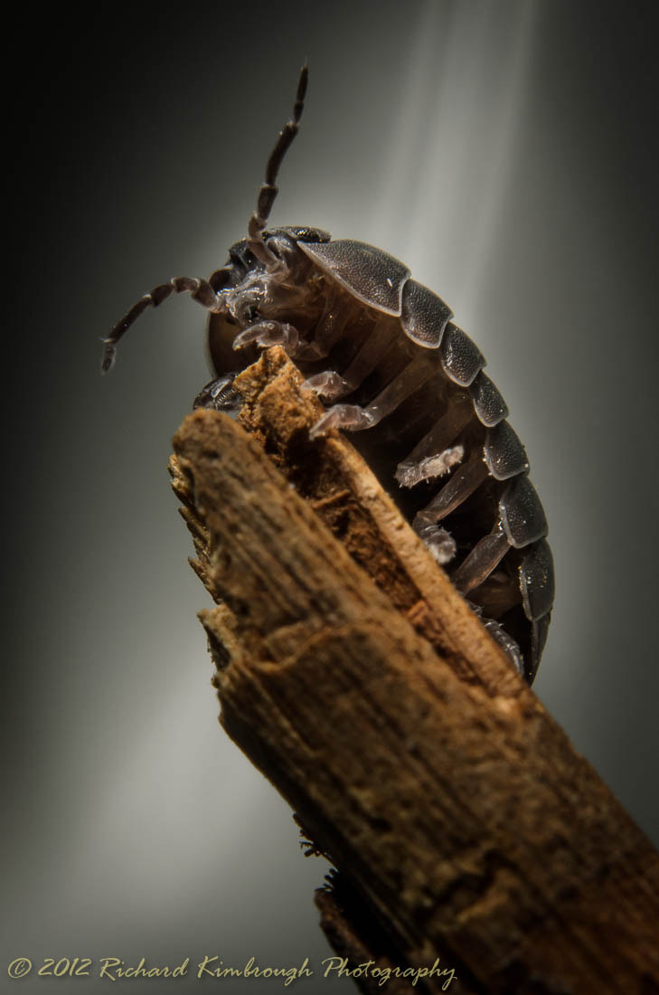 Photograph Armadillidiidae Going to the Top  by Richard Kimbrough on 500px