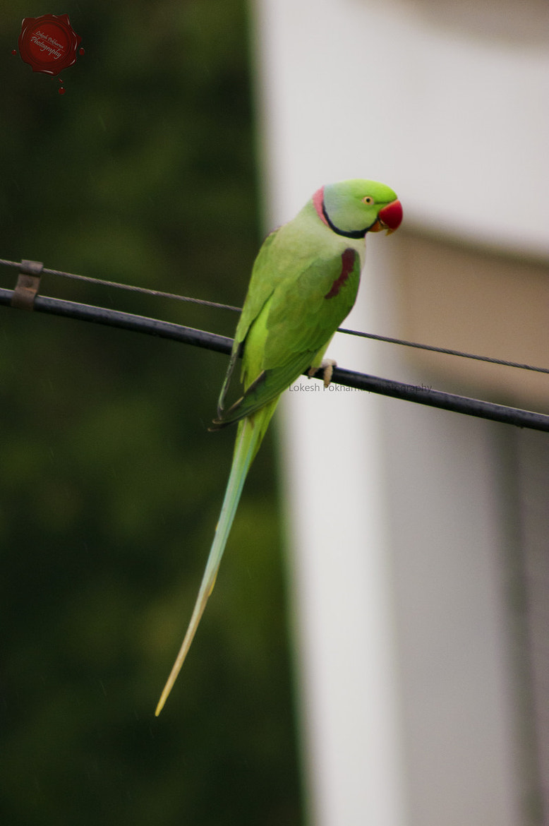 Photograph Red-masked Parakeet by Lokesh Pokharna on 500px