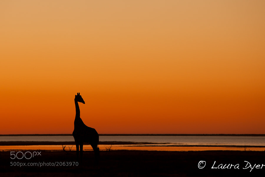 Giraffe overlooking the Etosha Pan at sunset.