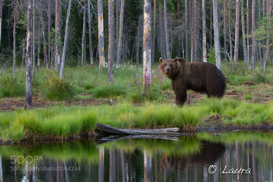 Taken near the Russian Border in Finland, this European Brown Bear was very shy, and alert to everuthing around him. We were in a hide, photographing through the night, and this was taken shortly before sunset.