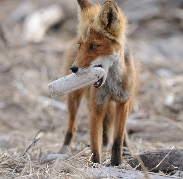 Photograph Fishing float and a fox. by Igor Shpilenok on 500px