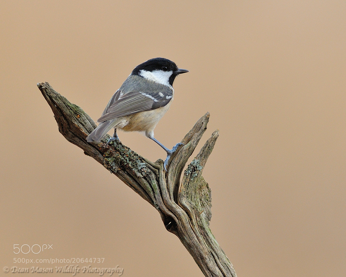 Photograph Coal Tit by Dean Mason on 500px