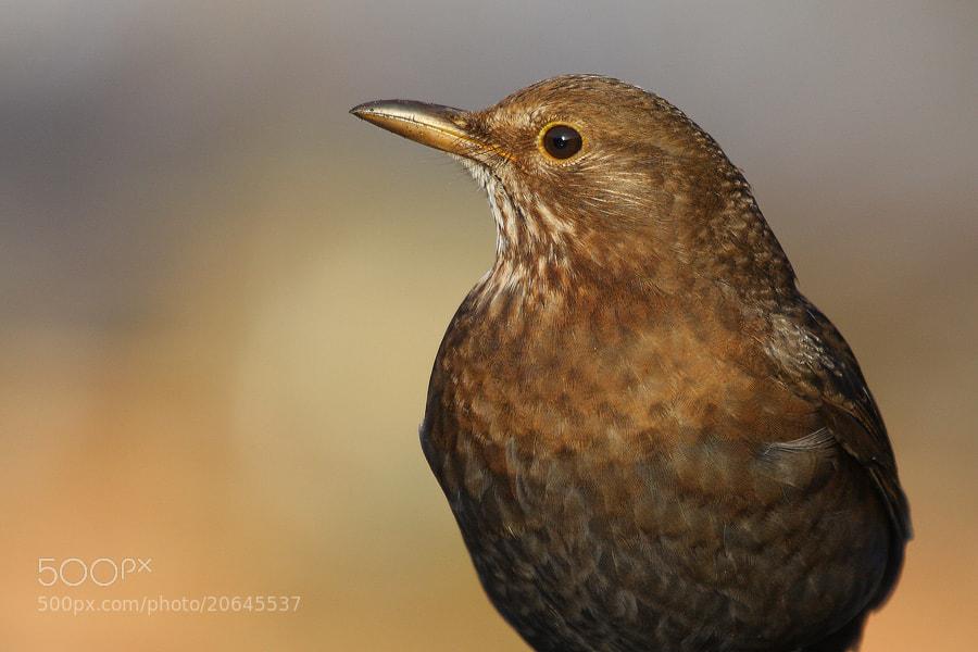Photograph Blackbird (female) by theo dierckx on 500px