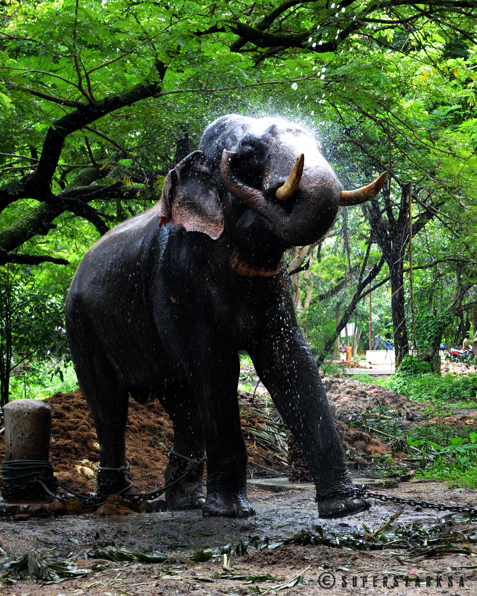 Photograph A temple elephant cools off by Ananthanarayanan Subramanian on 500px