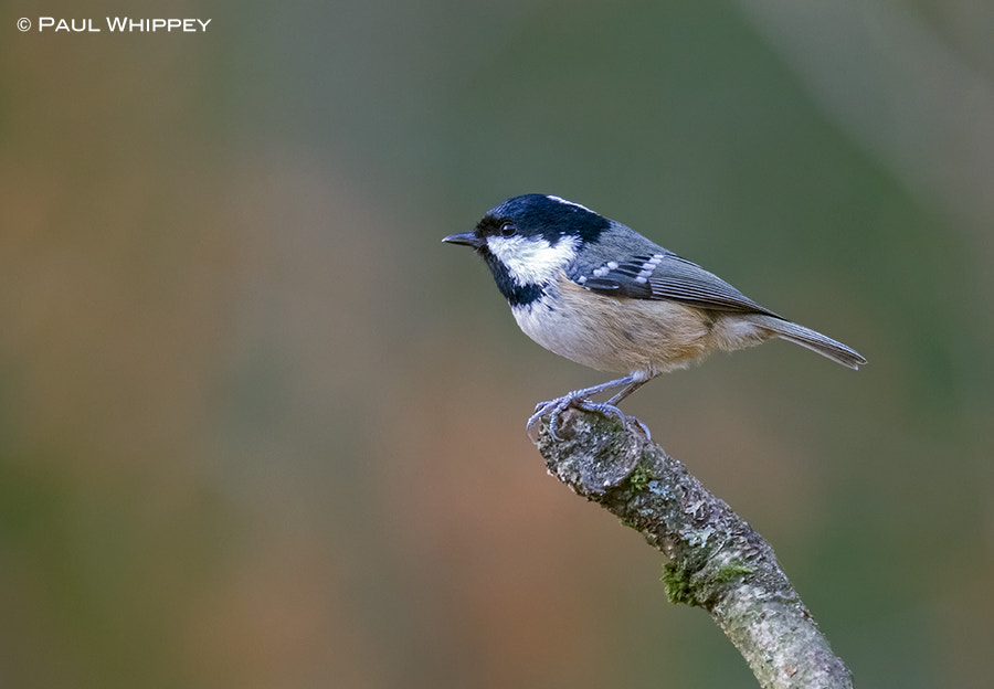 Photograph Coal tit (Periparus ater) by Paul Whippey on 500px