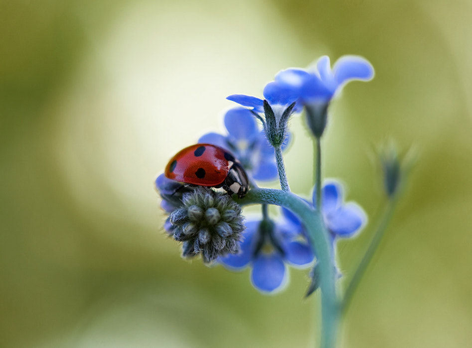 Photograph Ladybird by Mandy Disher on 500px