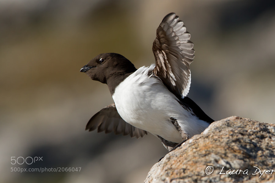 We spent an afternoon photographing Little Auks at a colony on Spitsbergen. They nest high on the cliffs to avoid Polar Bears and foxes, so I was perched on a couple of boulders to get this shot. I am usually scared of heights, but even though I was balancing precariously I forgot to be scared because these little birds are just so awesome!