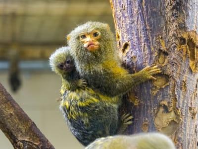 Pygmy Baby