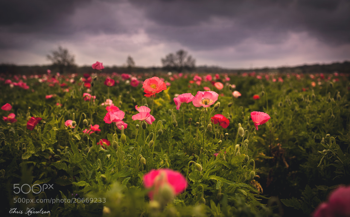 Photograph Poppy Fields Forever by Chris Harrelson on 500px