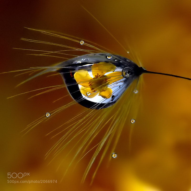 Photograph dandelion and flower in the drops by Franco Mottironi on 500px