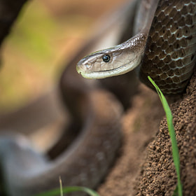 Black Mamba, most dangerous snake on earth by Marlon du Toit (marlondutoit)) on 500px.com