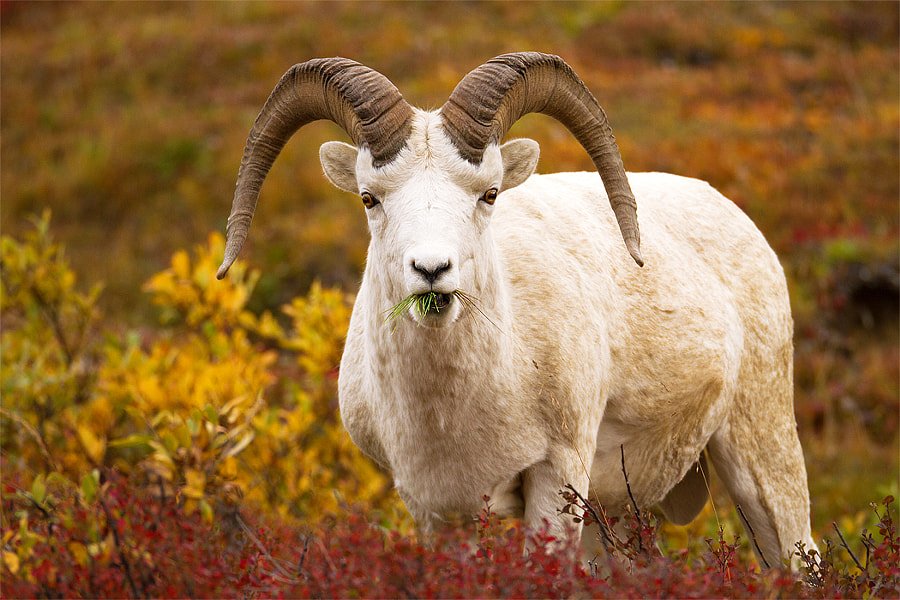 """These over-rated goats, known as Dall Sheep, are pretty crazy sheep...I'd even go as far as to say they are """"Ballsy"""". Ballsy?  Yes, Ballsy.  First, If you look at them, and their history, they really are...well, Ballsy. First, they have big balls. I don't mean to be disgusting but their anatomical """"rear"""" structure is hard not to notice.  Second, they live on the side of near sheer cliffs. NUTS! And, it's what they prefer. Noooooo, they can't like the vegitation down lower where it's all level and safe, they have to climb up the side of the g'damn moutain which is way more dangerous, and much harder to photograph....  Third, they are survivors. In fact, it was when early man (well, the 1900's) came in to save them from idiot hunters from shooting them to death, that Denali National Park got it's start to protect these Ballsy son of a guns.  So there you have it, a shot of an over rated goat, with big horns and big balls...that's your history lesson for today. Hope you learned something!"""