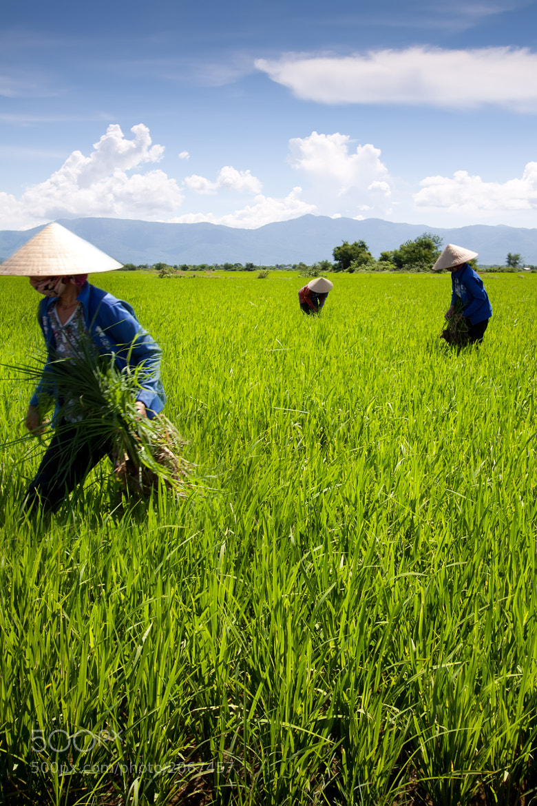 Photograph 'Rice Paddy', Vietnam, Ho Chi Minh City, Countryside, Rice Fields & Workers by Chris Schoenbohm  on 500px