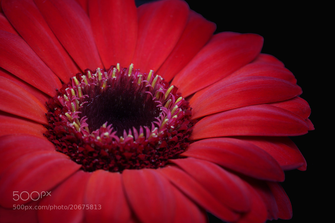 Photograph Red Gerbera by Shauna Kenworthy on 500px