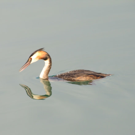 Great crested grebe - Lake Klopein