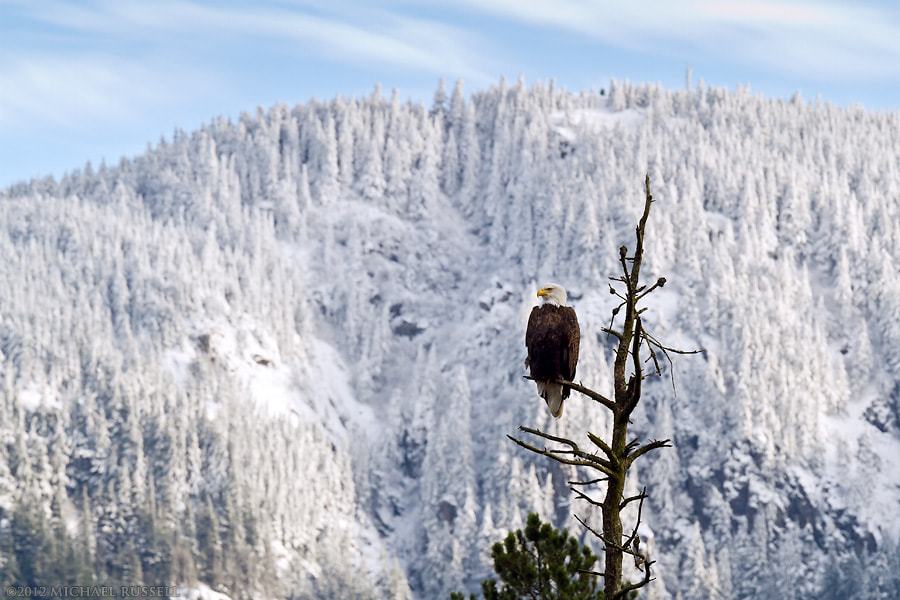 Photograph Bald Eagle by Michael Russell on 500px