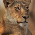 A tightly-framed portrait of one of the two Jacaranda Pride lionesses we encountered on the morning of 6 October, 2012, in the Motswari Private Game Reserve, South Africa.