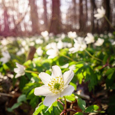 Buschwindröschen im Frühling