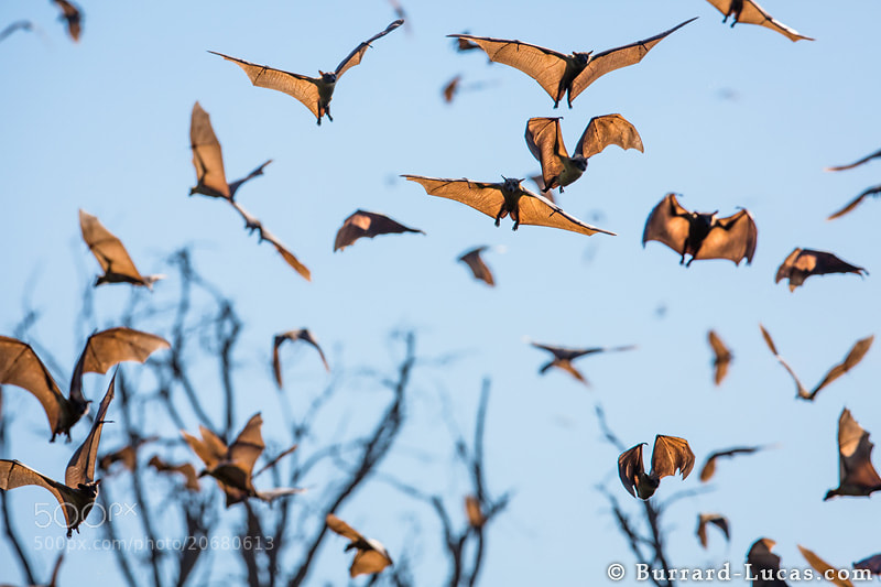 Photograph Fruit Bats, Zambia by Will Burrard-Lucas on 500px