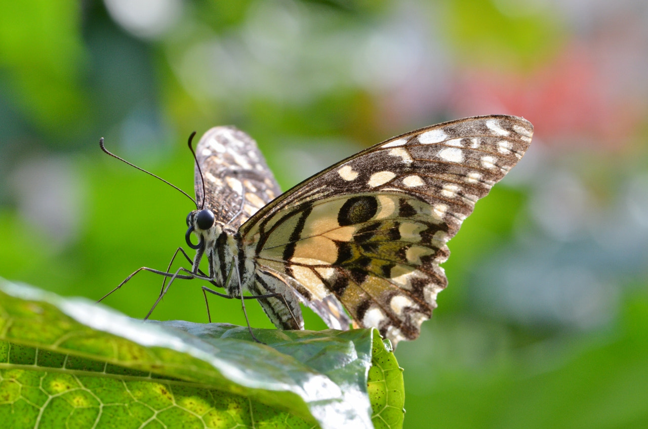 Photograph Lime Butterfly by Terence Kok on 500px