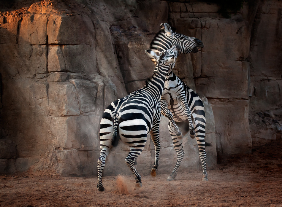 Photograph Zebra´s game by Jose Beut on 500px