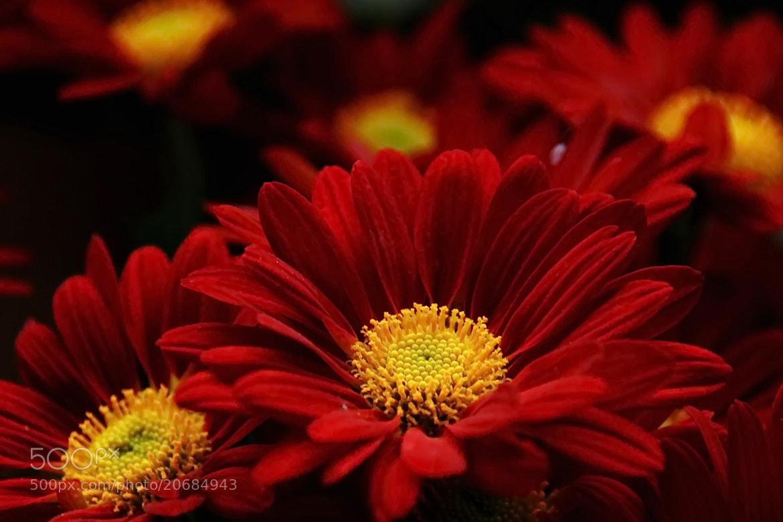 Photograph Chrysanthemum by sgmillionxu2000 on 500px