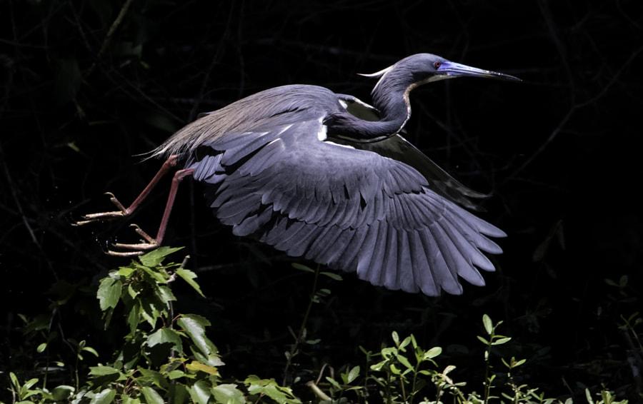 tricolor heron blue beak
