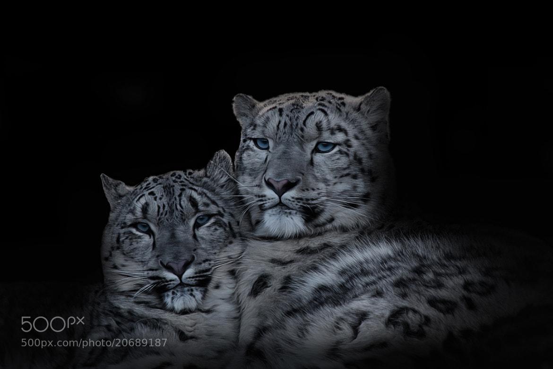 Photograph schneeleoparden by jan kitel on 500px