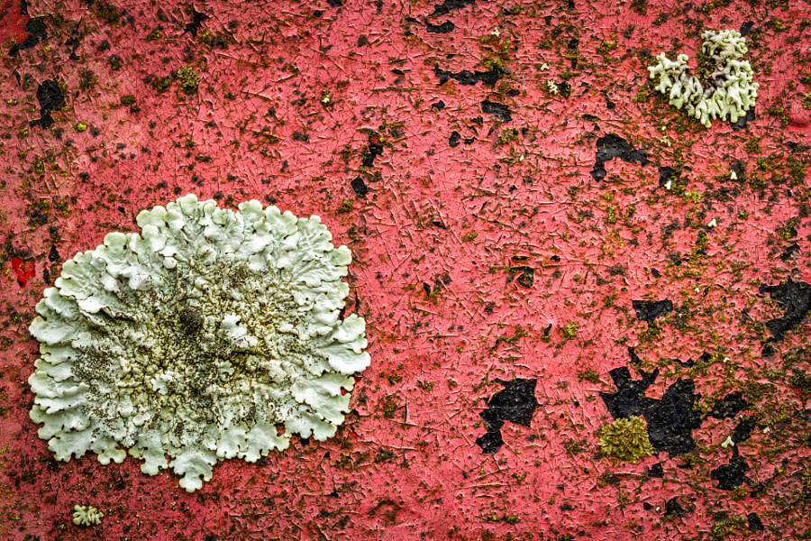 Lichens on red