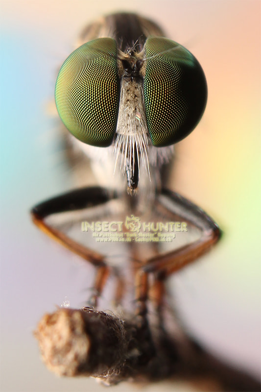 Photograph I am a Robber Fly! by Putthabut Nuyung on 500px