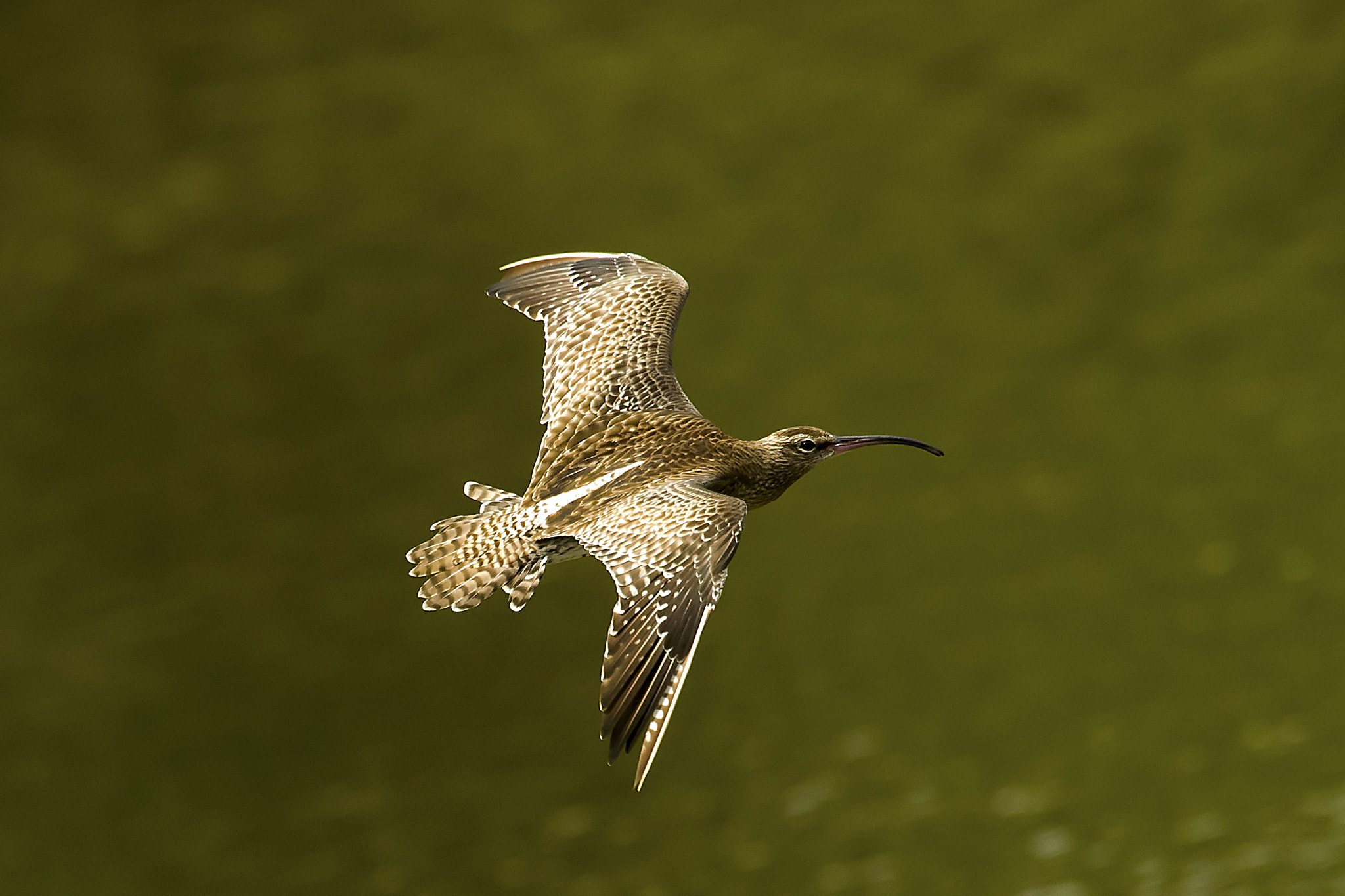 Photograph Whimbrel  by Allan Seah on 500px