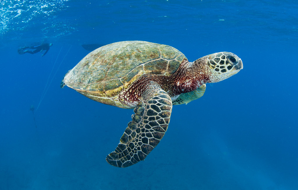 Photograph Green Turtle by Chuck Babbitt on 500px