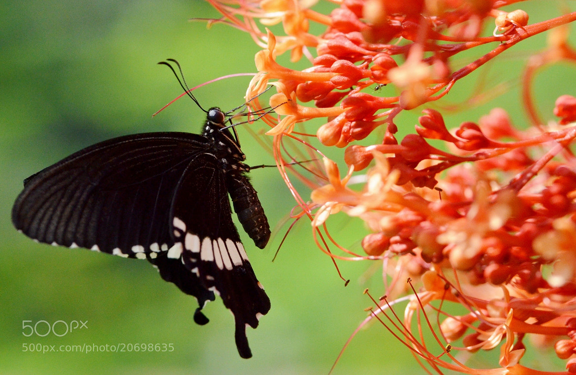 Photograph Common Mormon by Terence Kok on 500px