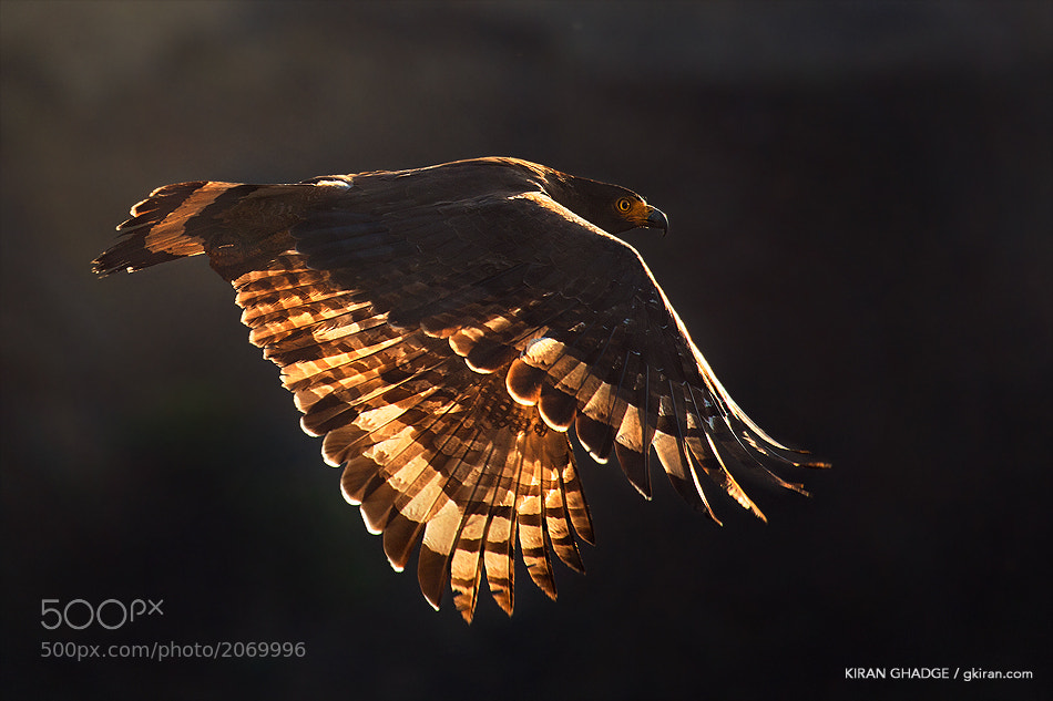 Photograph Play of light - Crested Serpent Eagle by Kiran Ghadge on 500px
