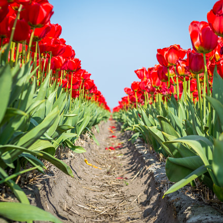 Red tulips with vanishing point