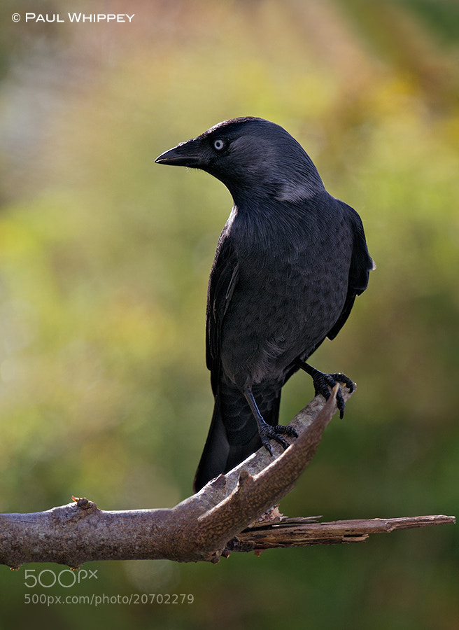 Photograph Jackdaw (Corvus monedula) by Paul Whippey on 500px
