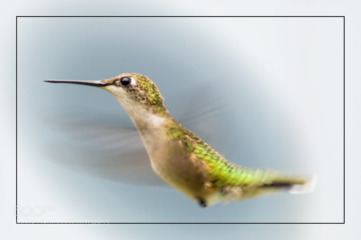 Photograph Hummingbird by Tracy Munson on 500px